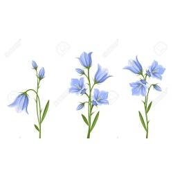 Small Crop Of Blue Bell Flower