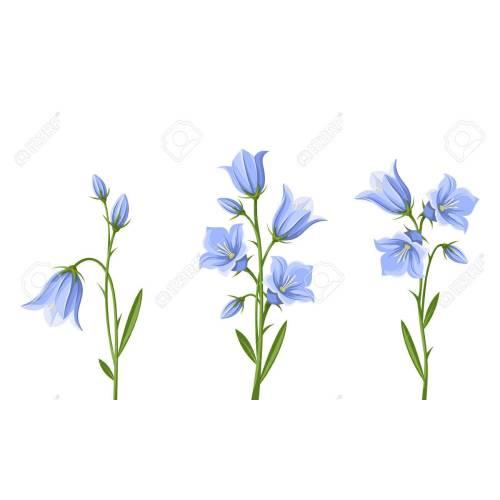 Medium Crop Of Blue Bell Flower