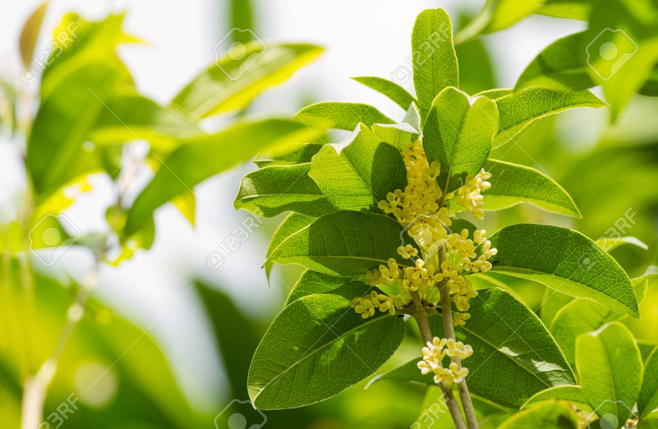 Awesome Osmanthus Or Olive Flowers Blossom On Its Olive Tree Propagation Olive Tree Fruit Osmanthus Or Olive Flowers Blossom On Its Tree Stockphoto Group Group houzz-02 Sweet Olive Tree