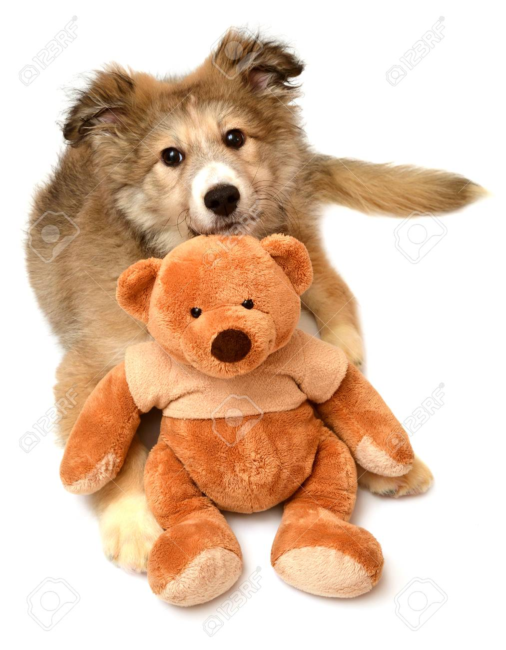 Fullsize Of Teddy Bear Dogs