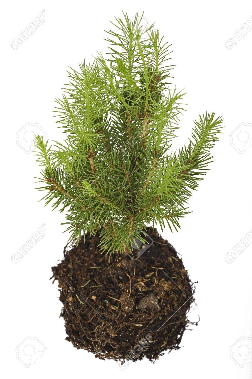 The Pine Tree Seedling Isolated On Background Stock Photo Pine Tree Seedling Isolated On Background Stock Pine Tree Seeds Fire Pine Tree Seeds To Eat houzz 01 Pine Tree Seeds