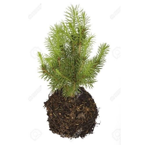 Medium Crop Of Pine Tree Seeds