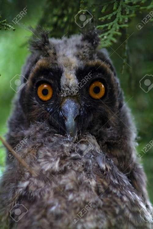Medium Of Grey Owl Juniper