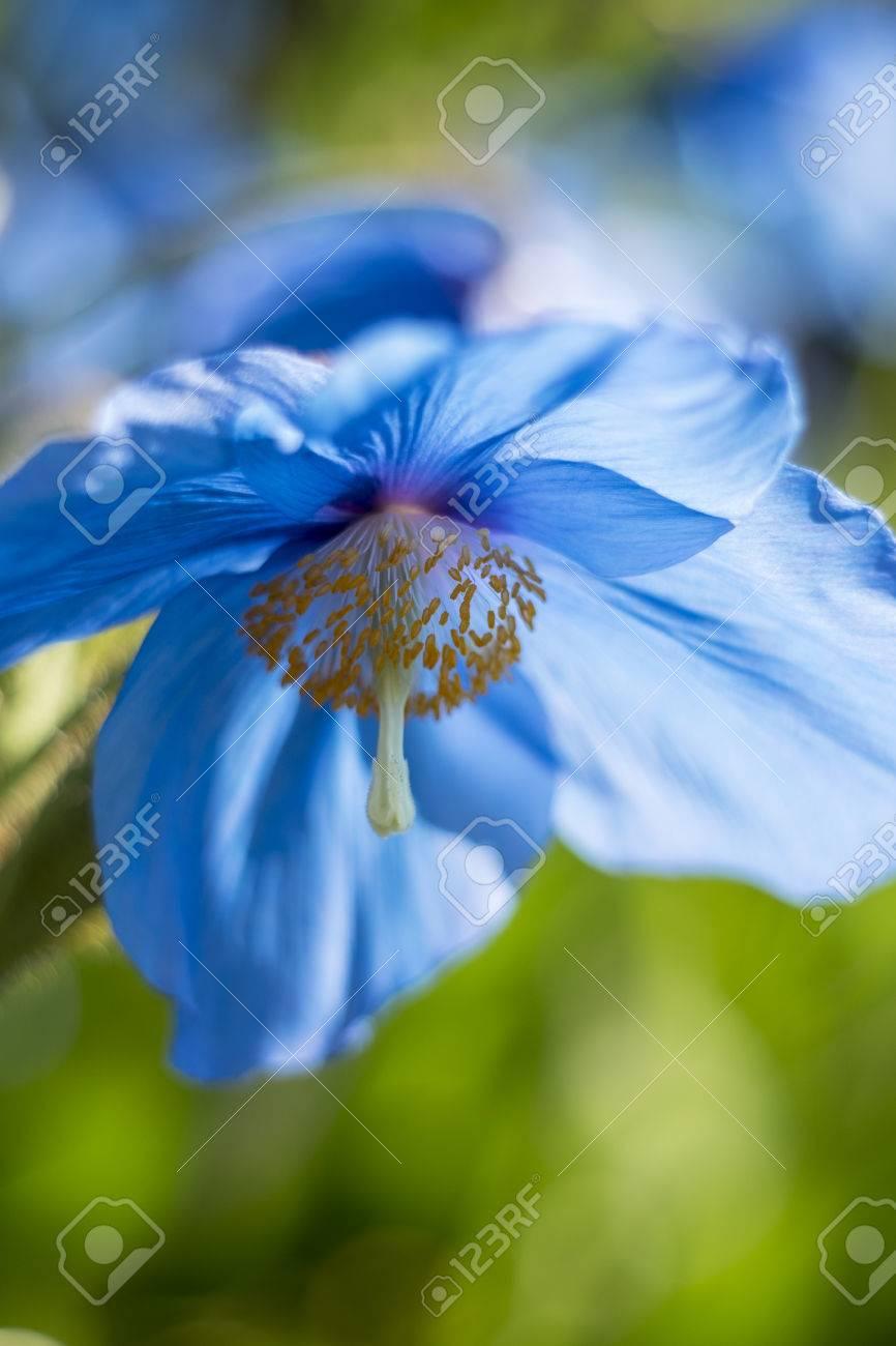 Tremendous Himalayan Blue Poppy Its Large Sky Himalayan Blue Poppy Images Himalayan Blue Poppy Zone Its Large Sky Blue Petalsagainst A Soft Himalayan Blue Poppy houzz-03 Himalayan Blue Poppy