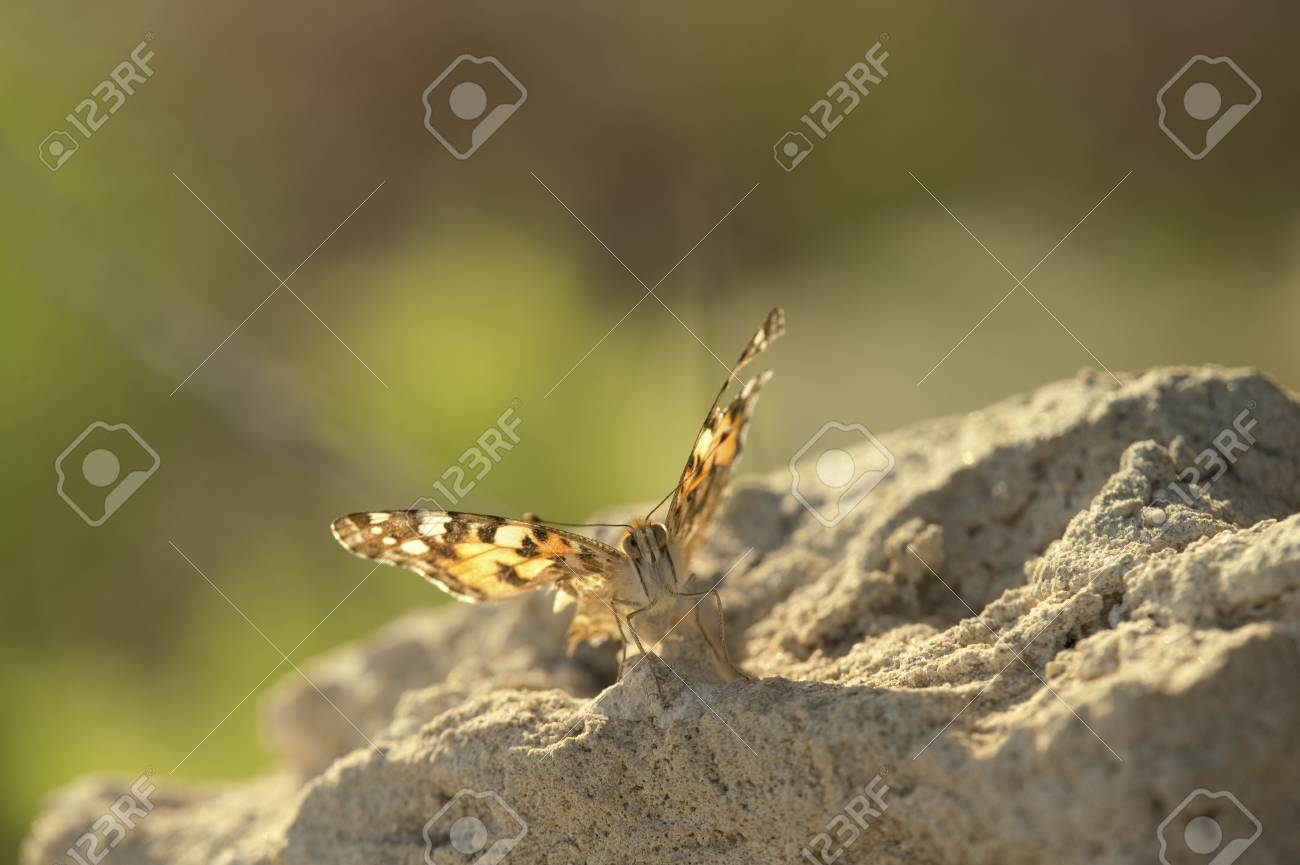 Picture Orange Butterfly On A Rock Painted Vanessacynthia Cardui Stockphoto Orange Butterfly On A Rock Painted Vanessacynthia Cardui Painted Lady Suite Painted Lady Lounge houzz-02 The Painted Lady