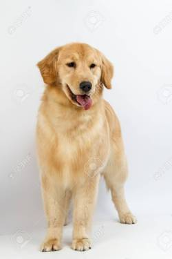 Small Of Pictures Of Golden Retrievers