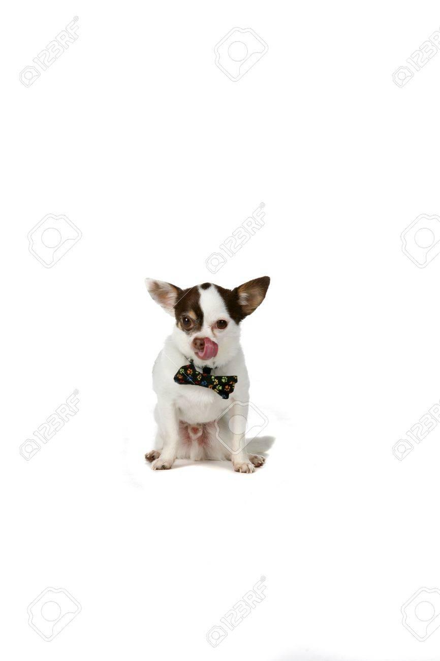Fullsize Of Small White Dog