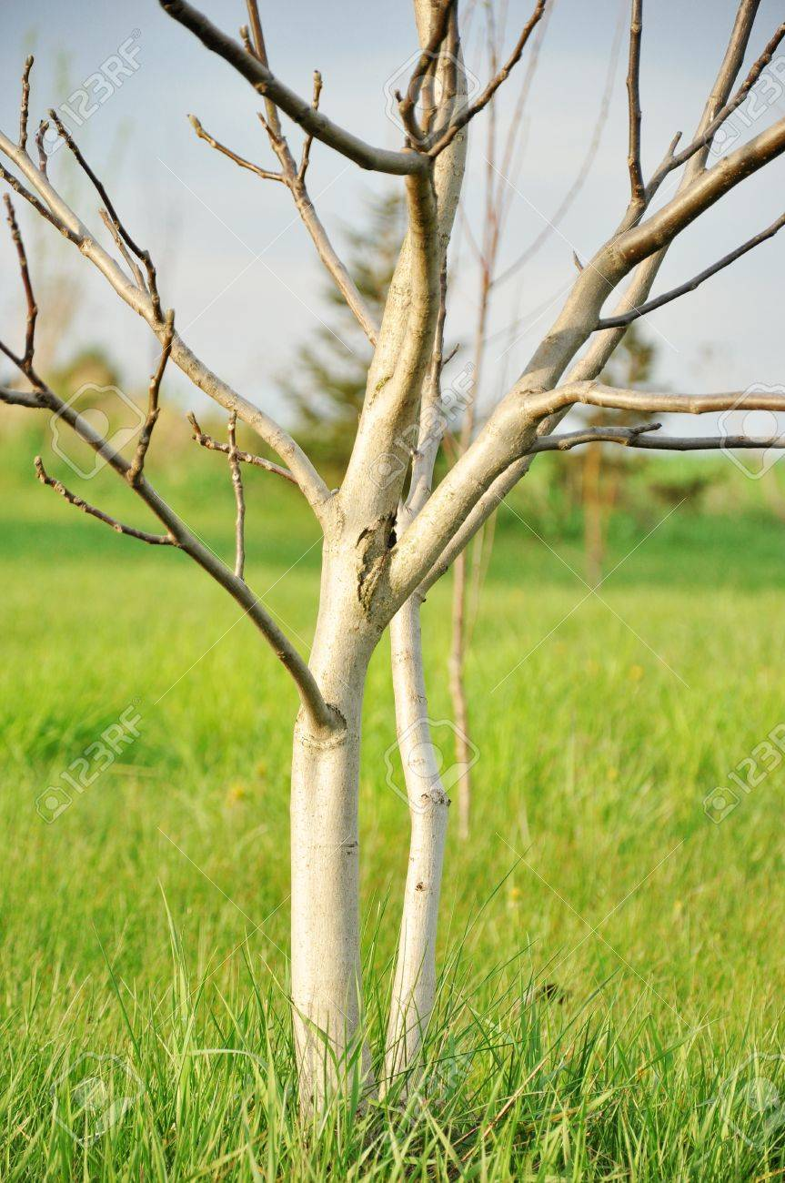 Fetching Stock Photo Walnut Tree No Leaves Tree Without Leaves Royalty Tree Without Leaves Colouring Image Spring Walnut Tree No Leaves Spring Stock houzz 01 Tree No Leaves