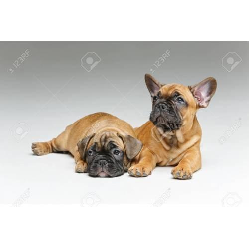 Medium Crop Of Cute French Bulldog