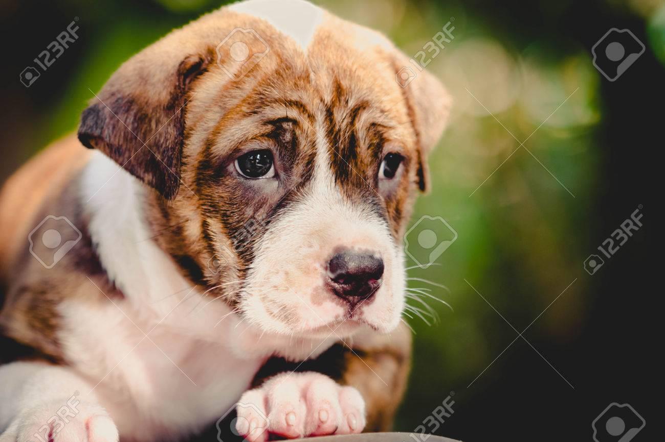 Shapely Royalty Pitbull Puppy Memes Pitbull Puppy Images Close Up Pitbull Puppy Dog Stock Photo Close Up Pitbull Puppy Dog Stock bark post Cute Pitbull Puppies