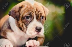 Shapely Royalty Pitbull Puppy Memes Pitbull Puppy Images Close Up Pitbull Puppy Dog Stock Photo Close Up Pitbull Puppy Dog Stock