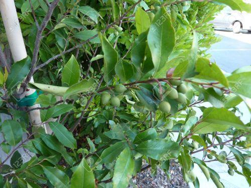 Medium Of Cherry Laurel Tree