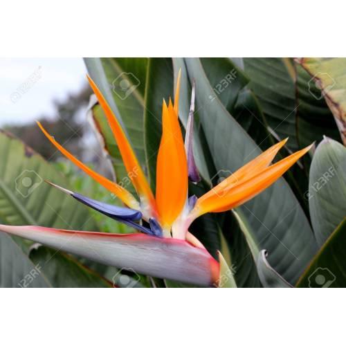 Medium Crop Of Orange Bird Of Paradise