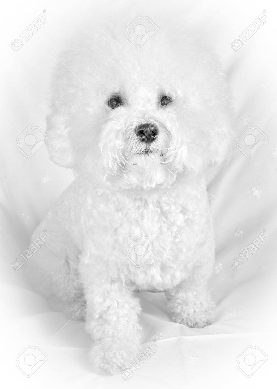 Attractive Fluffy Dog Pokemon Fluffy Dog Breeds Bichon Frise Fluffy Dog Sitting At Armchair Looking At Bichon Frise Fluffy Dog Sitting At Armchair bark post Fluffy White Dog