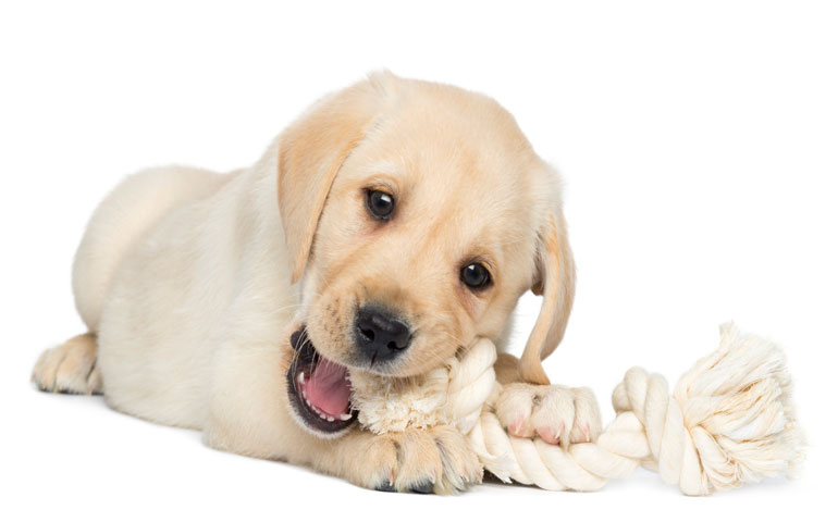 How To Tame A Teething Puppy