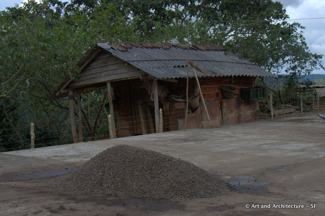 Coffee Beans drying after last nights rain