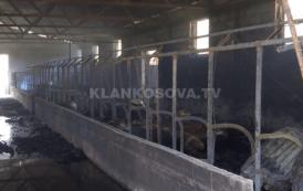 Digjet stalla me bagëti në Reshtan (VIDEO)