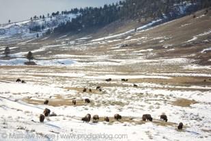 Yellowstone Winter Car Buffalo Bison