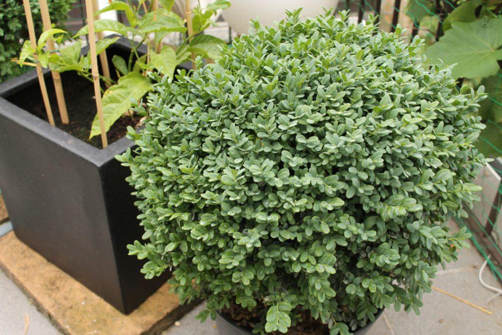 buchsbaum versch nerung f r unsere terrasse produkttests von uns f r euch. Black Bedroom Furniture Sets. Home Design Ideas