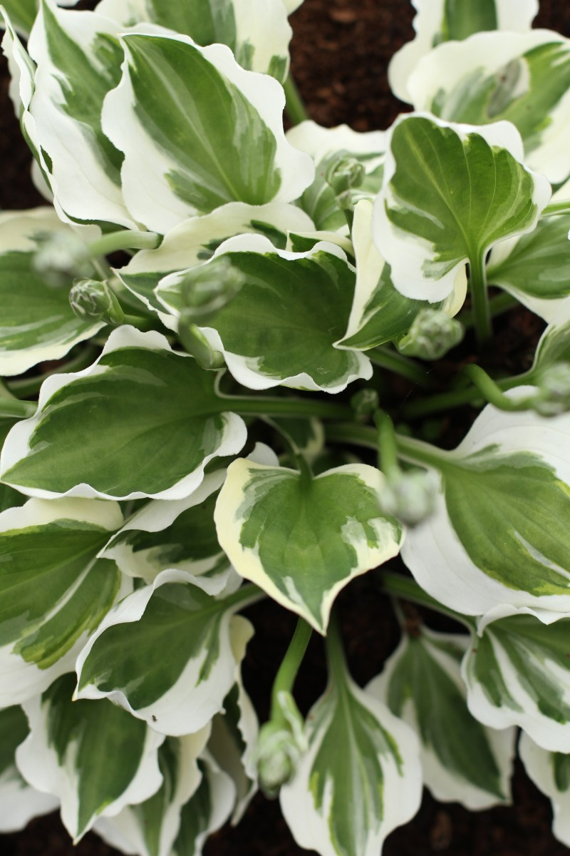 Large Of August Moon Hosta