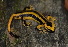 salamandra1