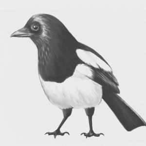 Magpie, pencil effect, illustration