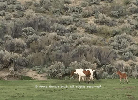 AWHI WY14 West Foal April 24 2016 FB