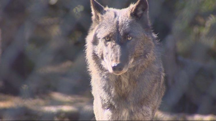washington wolves poached, protect the wolves
