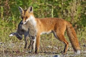 13 листопада на Тернопільщині розпочнеться сезон полювання на лисиць