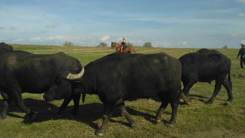 buffalo_2_myhajlo-nesterenko