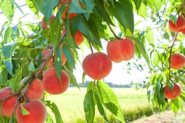 フルーツ王国山梨ならではのフルーツ狩りが楽しめる