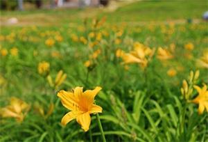 園内のニッコウキスゲの様子 (5月24日撮影)