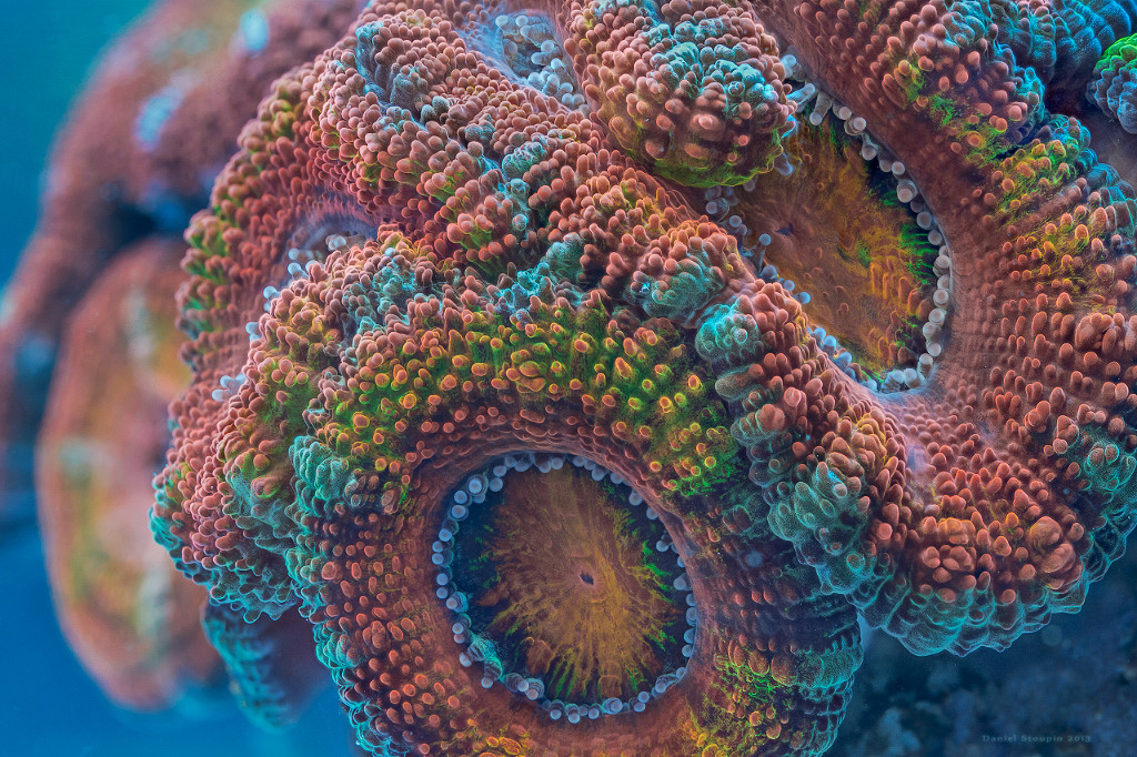 A coral (Acanthastrea) under high magnification. Focus stack. Fluorescent pigments emphasized with full-spectrum lights.