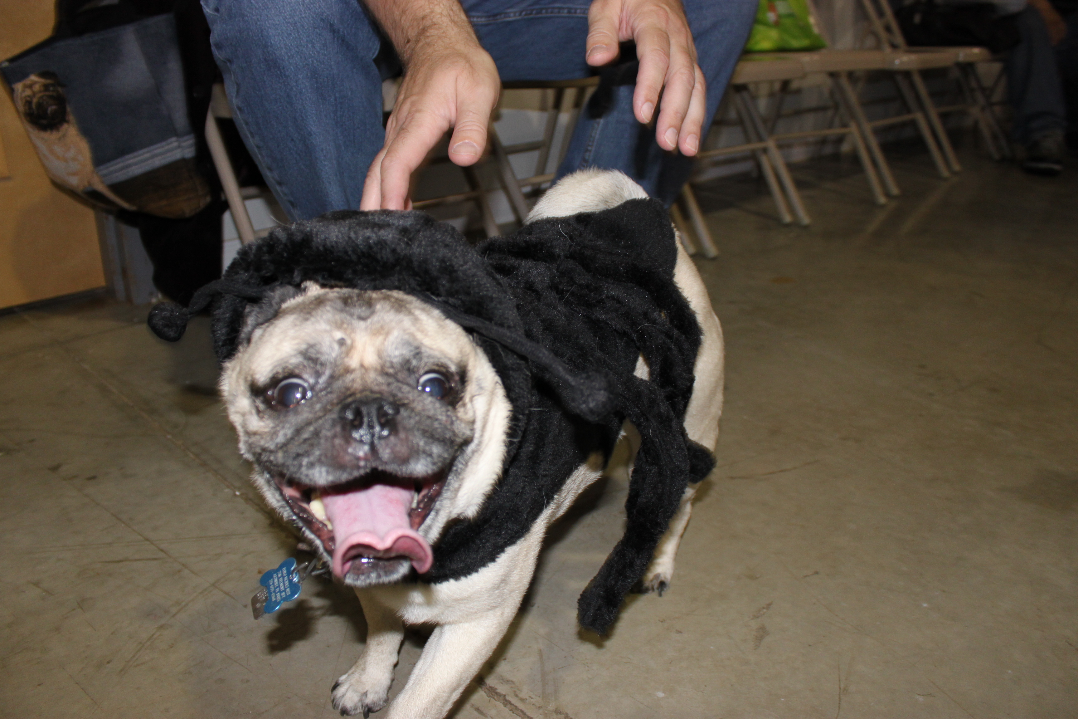 Supple Pugs Confessions Pablo Costumes Images A Pugophile Pugs His Spider Mohawk Pug Halloween Costumes Costumes Pugs bark post Pugs In Costumes