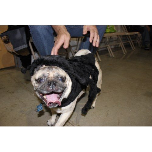 Medium Crop Of Pugs In Costumes