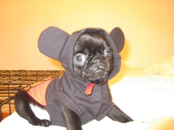 Enticing His Mickey Mouse Outfit Pug Puppy Pugsireland Blog Page Pug Seal Costume Yoda Costume Pug Smith