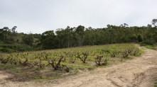 Old vines at Kalmoesfontein farm