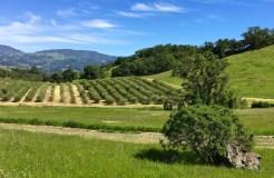 Olive-orchard