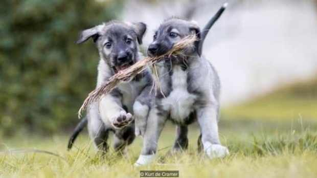 Image result for first identical puppies