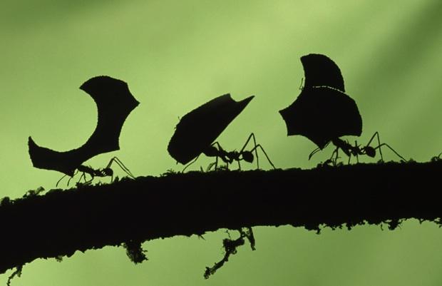 hormigas-llevando-hojas