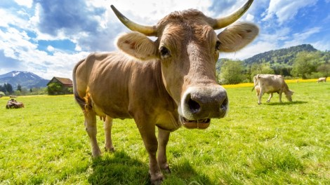 cow-pasture-animal-almabtrieb-large