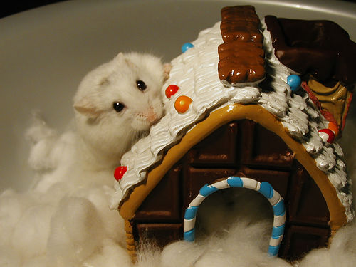 White Russian dwarf hamster eating gumdrops and Christmas gingerbread house