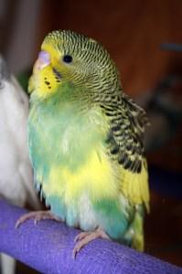 Dominant pied (single factor) green American parakeet