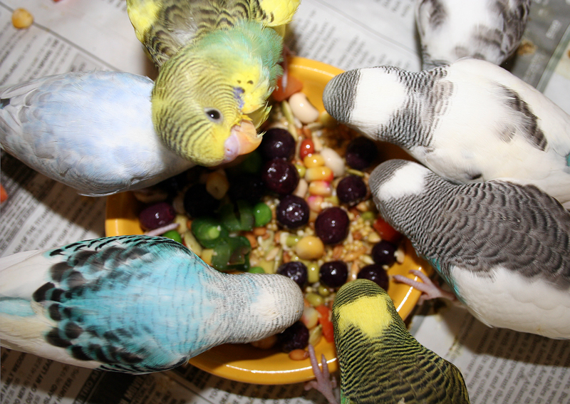 Parakeets should eat vegetables, fruit and sprouts.