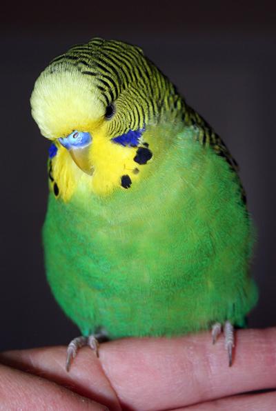 parakeet colors - photo #20