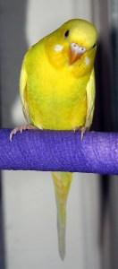Lutino American Parakeet