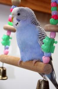 Violet greywing American parakeet