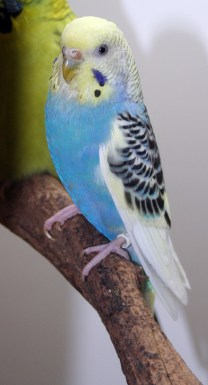 Yellowface type 1 skyblue single-factor violet clearflight pied opaline American parakeet