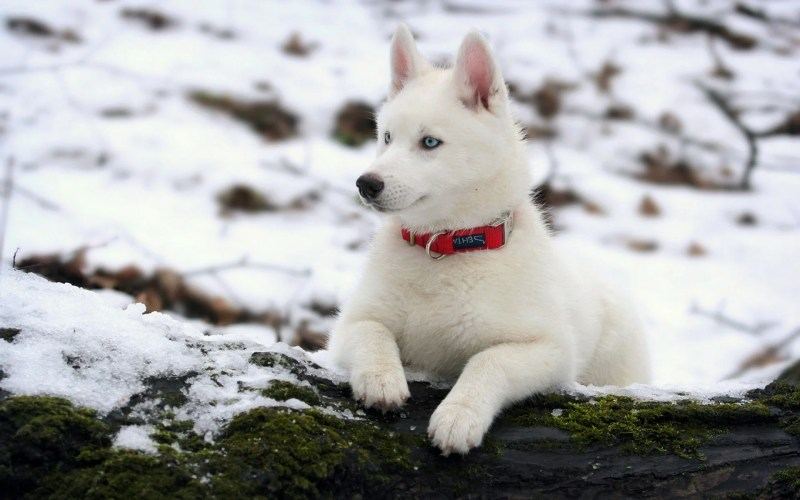 Large Of How Long Do Huskies Live