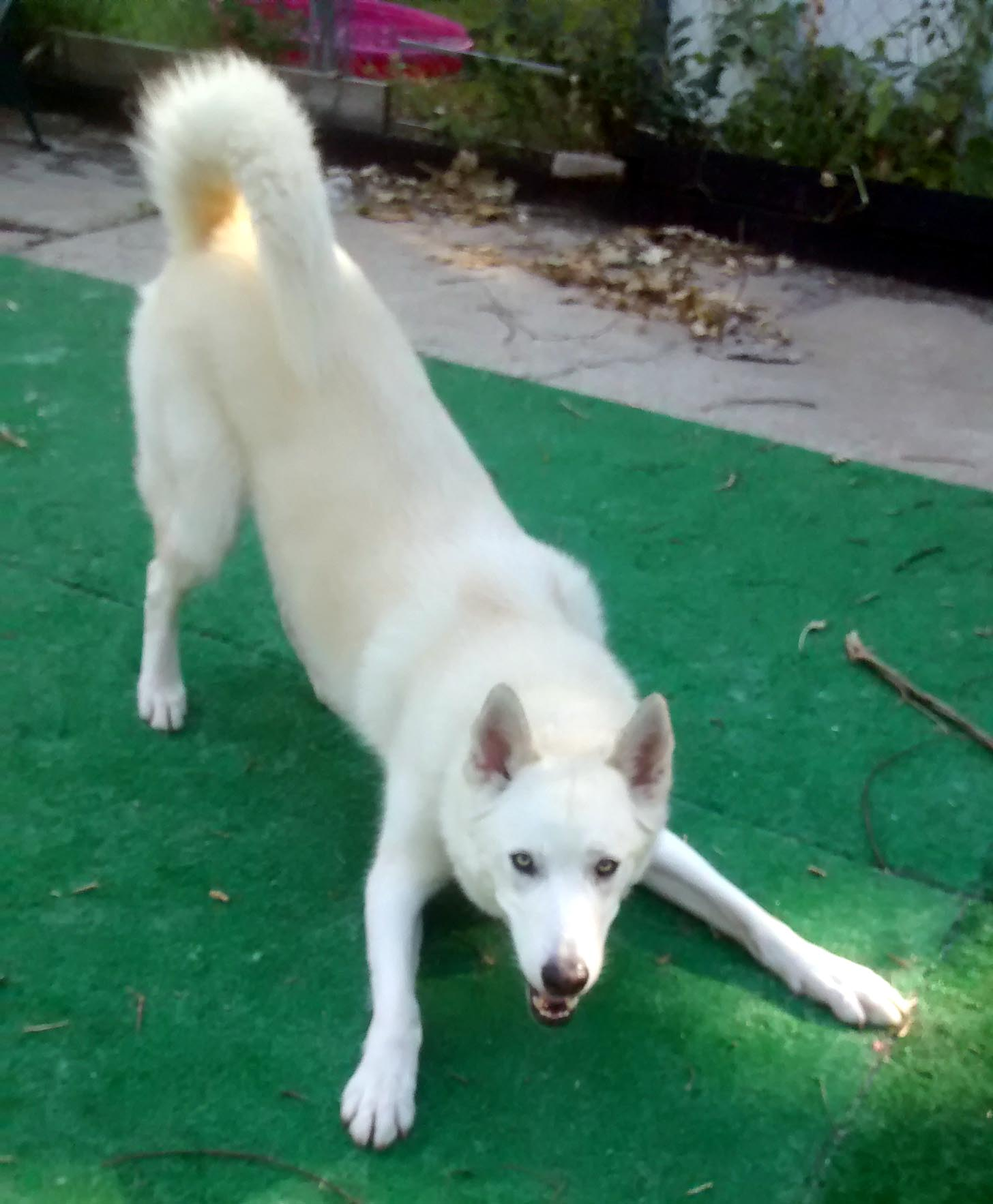 Dark Loki A Play Bow Loki A Play Bow Puppy Tutor Play Bow Dog Daycare Makati Dog Play Bow To Cat bark post Dog Play Bow